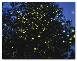 Fireflies watching on Koh Chang